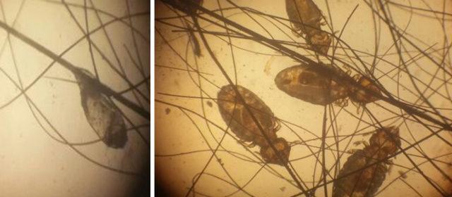 Infestação em Felis catus por Felicola subrostratus