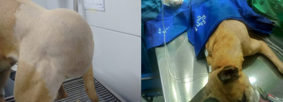 Lipoma subcutâneo gigante em região lombo-sacral de um cão